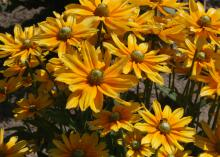 Several bright yellow flowers with green centers are displayed in the sun.