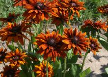 Several dark orange flowers with dark centers grow in a cluster.