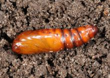A shiny, brown segmented cocoon rests on top of the soil.