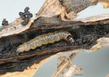 A whitish caterpillar with a black head sits inside a tunnel inside a plant stem.