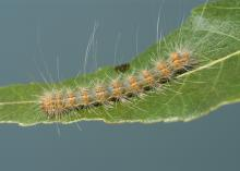 A single fuzzy, brown caterpillar with muted orange spots is seen on a leaf.