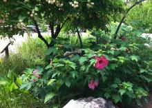 A green bush with large, pink blooms is positioned behind a large, white rock and under a shading tree that displays round, white blooms.