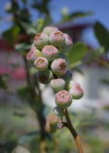 These early stage blueberries are green with a pink center.