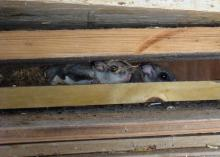 Two small gray squirrels peak out between wooden slats with nesting material behind them.