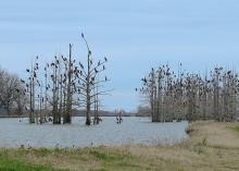 A lake with bare trees full of large birds perched in the branches.