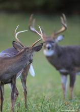 A buck looks back over his shoulder at another buck with larger antlers.