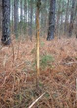 A small pine tree, the width of a forearm, stands in the middle of the woods with much of its bark rubbed away within the height level of an average deer.