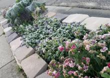 A row of winter flowers bordered by  landscape stones is covered in a light layer of ice.