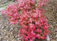 A small bush with bright red leaves contrasts against a rock-filled garden.