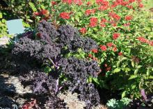 Upright, purple kale is seen in front of red-blooming flowers.