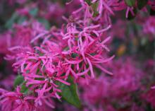 Deep pink blossoms cover the mostly bare branches of a shrub.