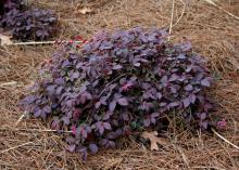 A small bush with burgundy leaves grows close to the ground.