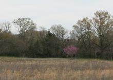 A single redbud tree covered in pink flowers is seen at a distance in a winter landscape.