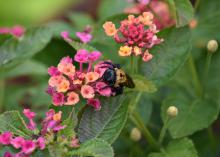 A bumblebee stands on the multi-colored flowers of a lantana bloom.