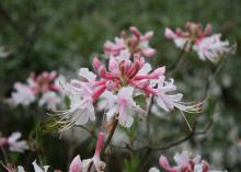 A white and pink honeysuckle flower floats in the foreground with green foliage in the back.