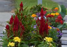 Fiery red blooms reach upward against a brick wall.