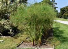 Tall stems of papyrus plants are topped by feathery flowers.