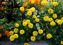 Yellow marigolds are pictured in front of orange marigolds.