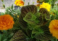 Burgundy-marbled coleus leaves are surrounded by gold marigold blooms.