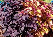 Deep burgundy coleus leaves mingles with a bright green coleus.