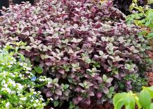 Alternanthera – A mass of purple leaves fills the frame, with green leaves on the sides.