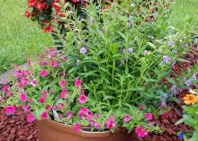 Angelonia – A container displays pink flowers growing down low, with taller green stems rising above.
