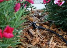 A sprinkler with a black hose nestled in light brown pine straw lightly sprays pink flowers.