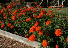 Orange blooms grow atop a bed of green plants.