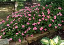 Pink flowers bloom from a mound of green under a shady tree.