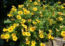 A basket of yellow flowers hangs in a garden.