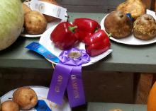 Three red bell peppers rest on a paper plate with a purple Grand Champion and blue first place ribbon.
