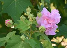 A single, pink flower blooms on the right with a slightly open, pink bud on the left.