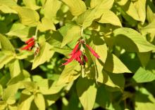 Small, red flowers bloom against a sea of lime green foliage.