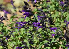 Small, vivid purple flowers bloom from dark spikes against a green background.