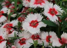 White, ruffled flowers with red centers are pictured up close.