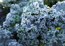Green, ruffled kale leaves look almost blue when covered with frost. ###