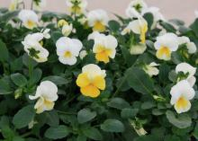 Several white flowers have a lower petal of yellow and rise above a sea of green foliage.
