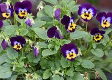 A single plant displays several intricate flowers of purple, white, blue and yellow colors.