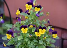 A single plant mounds up and displays vivid flowers with two deep-purple petals above three yellow petals.