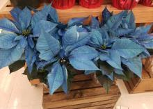 Poinsettias come in a wide range of colors, including those that are painted or dyed in nontraditional colors.