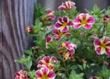 Yellow flowers splotched with pink bloom on a mass of green stems next to a wooden post.
