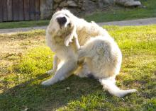 A golden retriever scratches fleas on green grass.