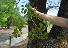 An arm holds a leafy green branch against the gray trunk of a tree growing next to a road.