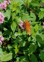 An orange butterfly with wings outstretched rests atop a cluster of small, pink flowers on a plant with green leaves.