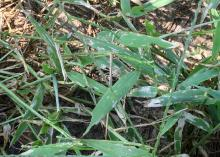 A closeup of signal grass blades shows grayish areas from armyworm damage.