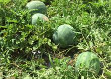 Four large, ripe watermelons lie among vines in the field.