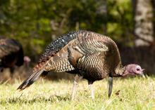 A mature turkey walks to the right through low grass as it examines the ground on a sunny day.