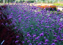 A full flower bed with tall, purplish-pink flowers on green stems edged on one side by shorter plants with a burgundy foliage.