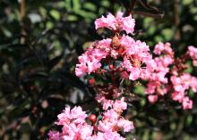 One cluster of pink, crinkled flowers and some seed-heads are visible with dark-green foliage in the background.
