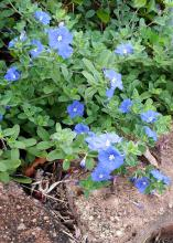 Blue flowers emerge from a blanket of green foliage that spills over bricks lining the edge of a garden